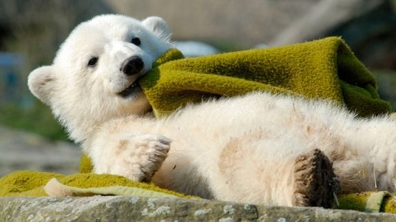 Why the beloved polar bear Knut died so suddenly
