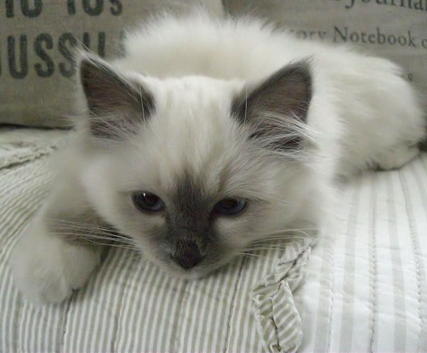 He`s a Sacred Birman Cat ( blue point )