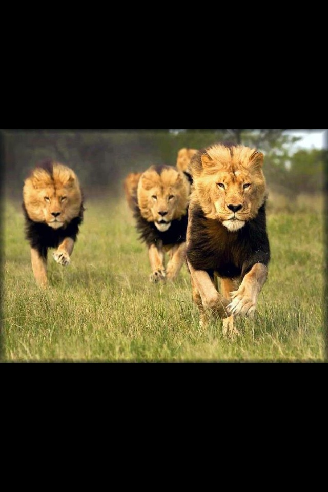 Endangered black mane lions!! So beautiful, majestic!! We have to be stewards of the Earth.