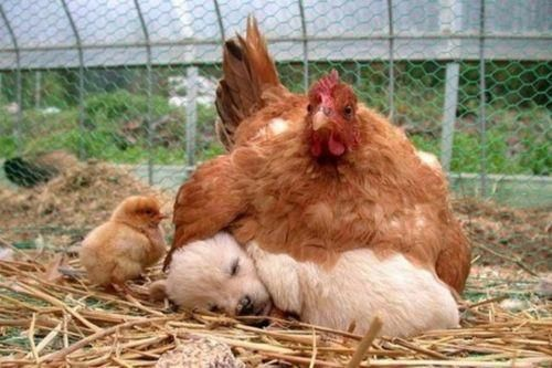 It's a chicken sitting on a puppy! And there's a chick too! Too much happiness.