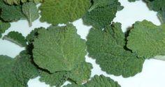 Planta Multipropósito: Adelgazante, Aperitiva, Hepática, Digestiva, y Más…