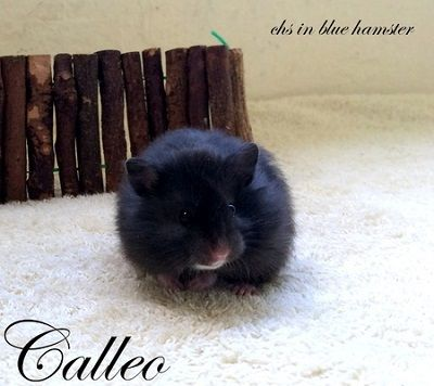 Calleo chs in blue hamster