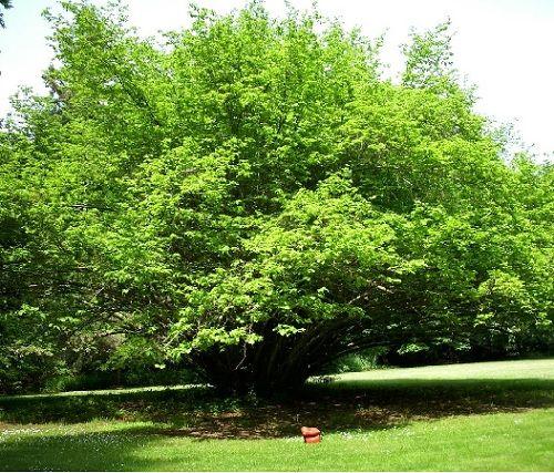 Гороскоп друидов дерево Орешник   Зодиак кельтов. Люди рожденные под знаком Орешника с 22 по 31 марта и с 24 сентября по 3 октября