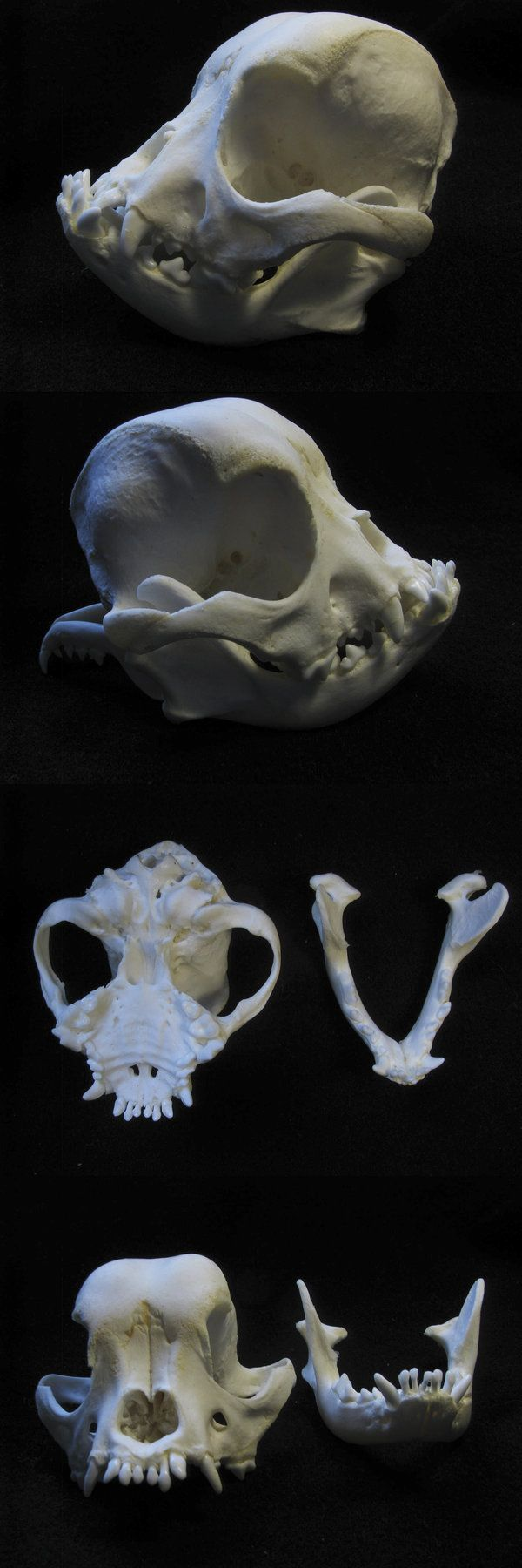 French bouledogue skull