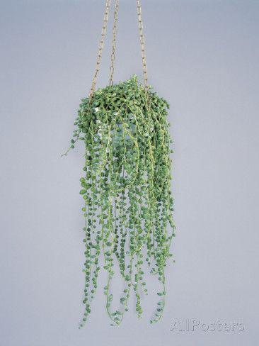 Senecio rowleyanus (Erbsenpflanze, Perlenschnur, Hängendes Kreuzkraut)