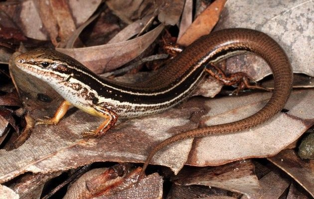 New species of lizard found in Australia - Times LIVE    2 inches long