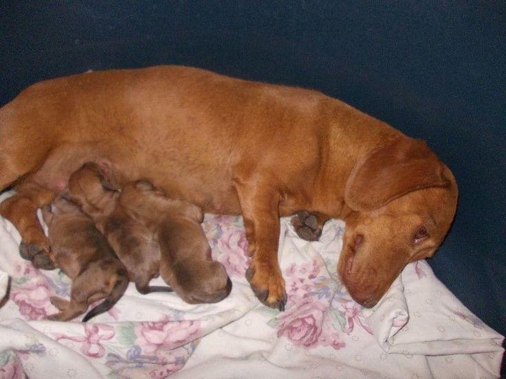 Red Weiner Dogs   Miniature Red Dapple Dachshund Puppies For Sale   Centurion   Gumtree ...