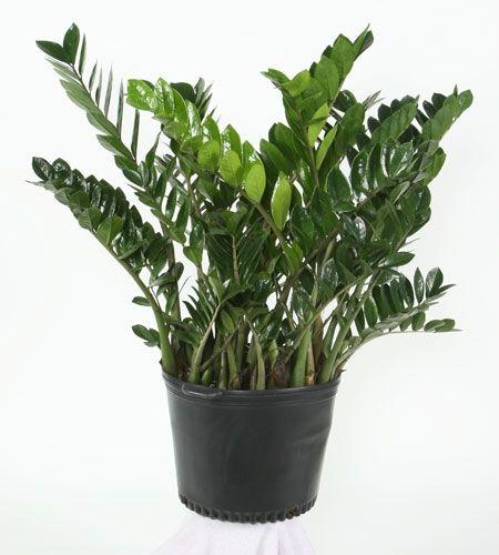 Zamioculcas zamiifolia eternity plant zamioculcas for Plante zamioculcas