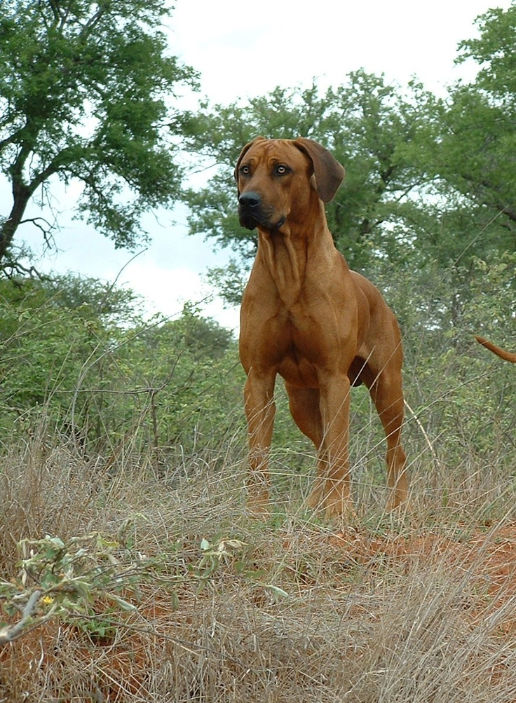 Rhodesian Ridgeback....he is so buff haha, guess he has to be in order to HUNT LIONS.  Looks just like Chevy, (our doggy) Except she is black...