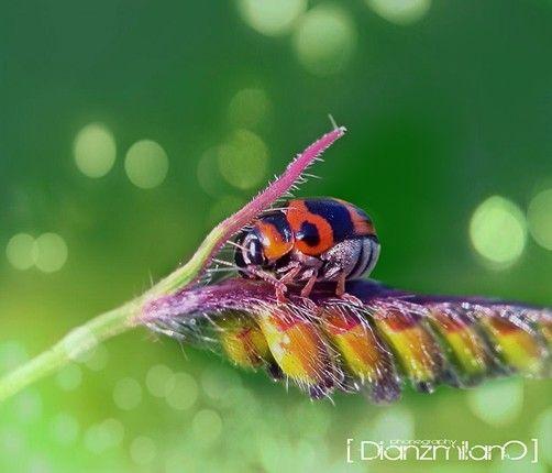 Forbbiden ladybug