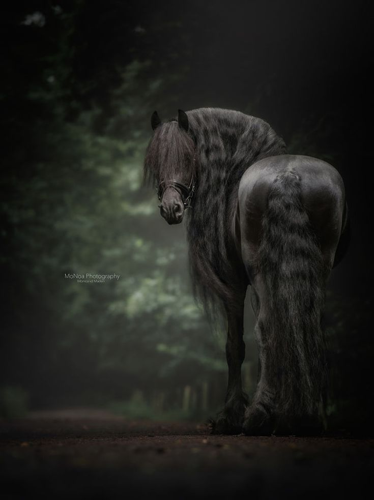 Beautiful Black Friesian horse with long gorgeous wavy mane and tail. Interesting bokeh forest background. Lovely equine photography.