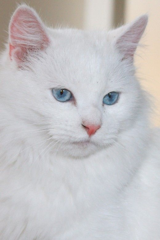 Turkish Angora | Top 7 Cutest Cat Breeds