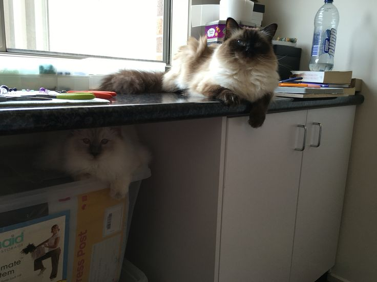 My two ragdolls keeping me company in the studio #cat #ragdoll #manager #trouble #GGJewellery