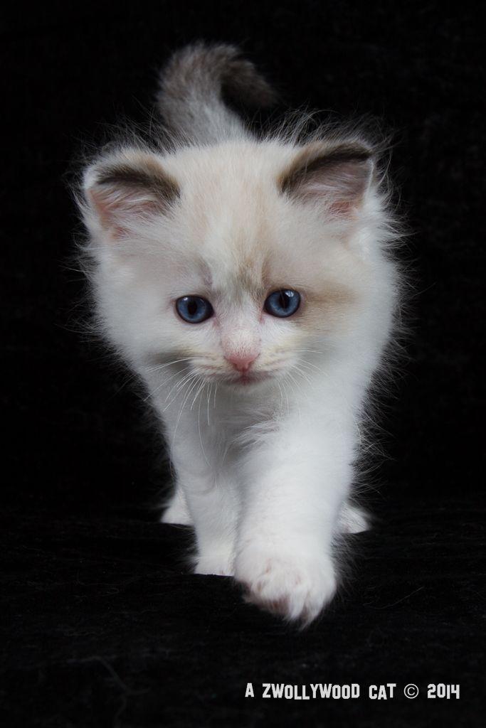 2014: Lightning A Zwollywood Cat. 7 Weeks old Ragdoll kitten, seal bicolour. Cars litter.