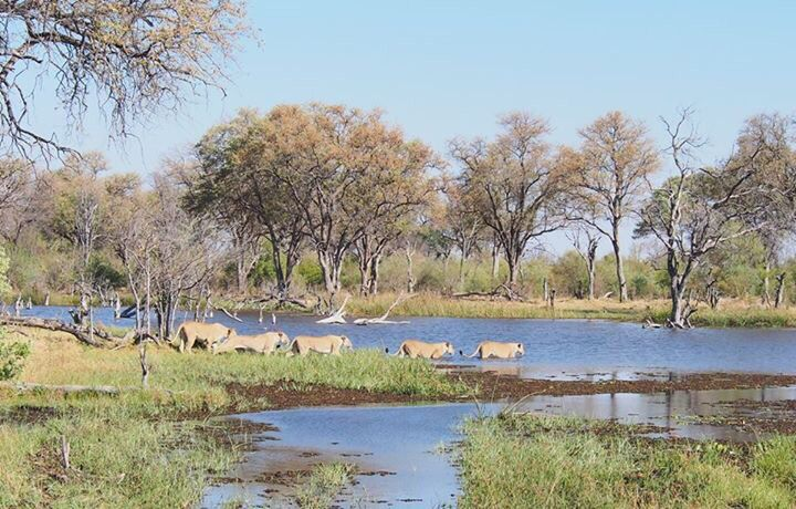Rarely seen - lion crossing croc and hippo infested river. Khwai River Lodge, Botswana