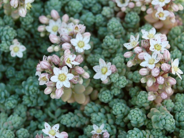 Sedum Dasyphyllum Mound Forming Evergreen Succulent With Silver Green Leaves And White Flowers In