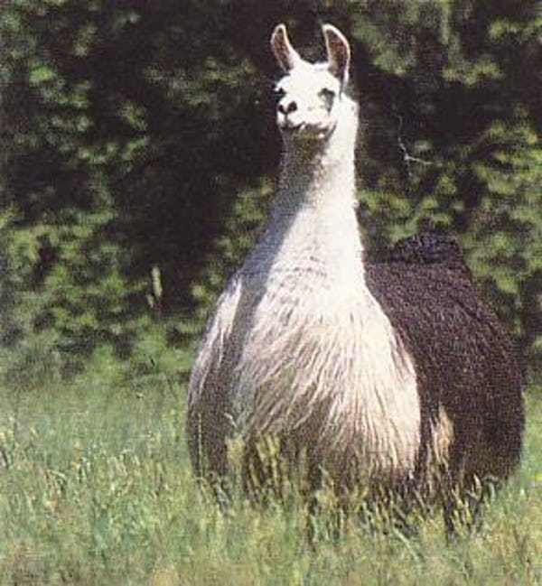 Fat Llama ist 31 in der Liste der 51 fettesten Tiere im Internet gelistet (oder rangiert) …   – Llama