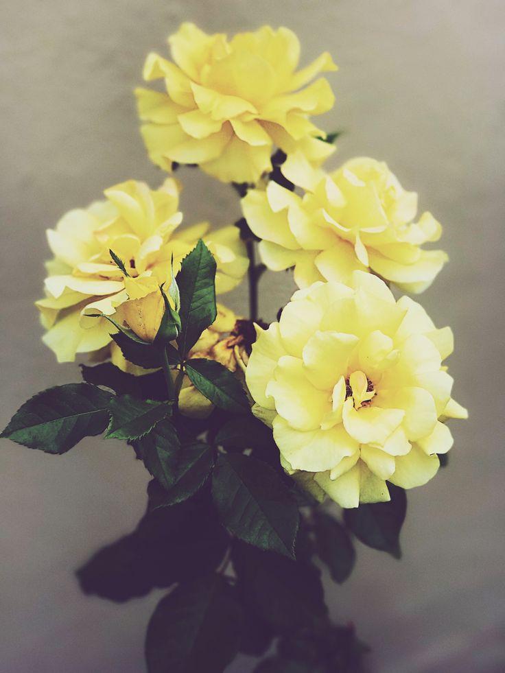Rose plant • yellow• iPhone 7 plus* depth effect•