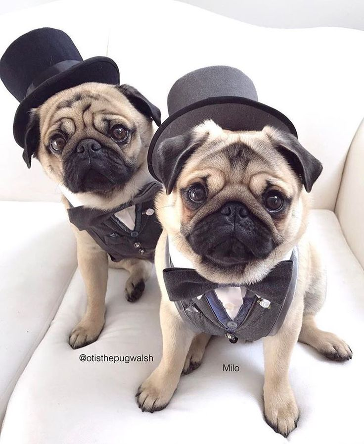 As dapper as dapper can be! Photo by @otisthepugwalsh Want to be featured on our Instagram? Tag your photos with #thepugdiary for your chance to be featured.