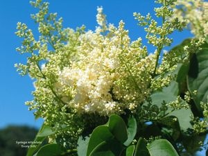 The 25 best japanese lilac tree ideas on pinterest small trees the 25 best japanese lilac tree ideas on pinterest small trees for garden dogwood bush and small yard flower garden ideas publicscrutiny Image collections