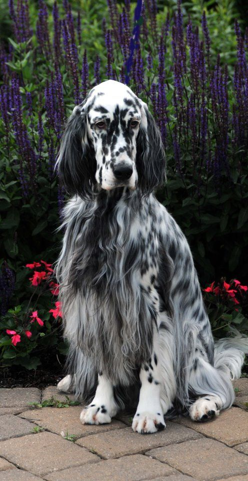 "Click visit site and Check out Cool ""English Setter"" T-shirts. This website is outstanding. Tip: You can search ""your name"" or ""your favorite shirts"" at search bar on the top."