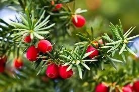 Gatunek wiecznie zielonego iglastego drzewa lub dużego krzewu z rodziny cisowatych. Występuje naturalnie w Europie, w Azji zachodniej (sięgając aż po Iran) oraz w północnej Afryce. Jest to roślina wolno rosnąca, długowieczna (osiąga ponad tysiąc lat), rosnąca na różnych glebach i w różnych warunkach nasłonecznienia.