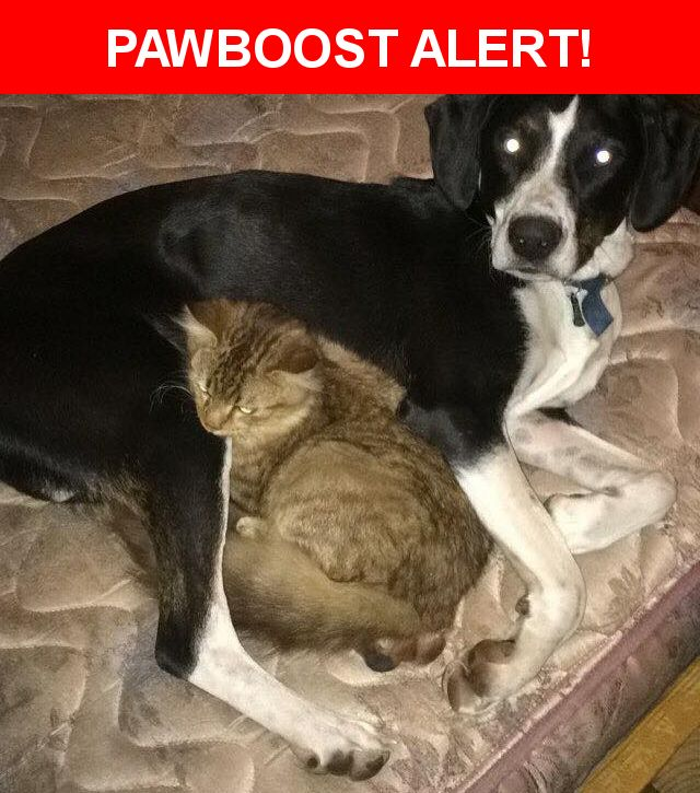 Please spread the word! Snoopy was last seen in Alexander, AR 72002.  Description: Black and white beagle also has some brown markings