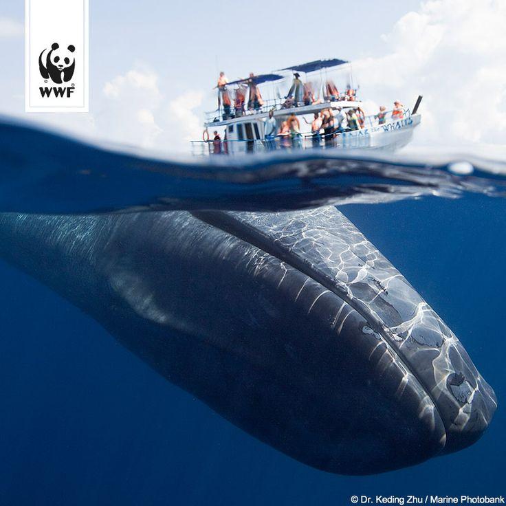 Schon gewusst? Der Blauwal ist vermutlich das größte bekannte Säugetier, das je auf der Erde gelebt hat. Sein Herz hat die Größe eines VW-Käfers!