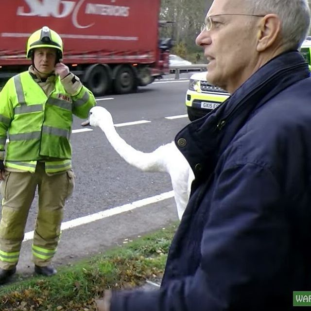 NEW VIDEO!  Animals need rescuing from the most unlikely places and we got a call from the police to alert us of a stray swan in a very strange place – the A3!  We arrived on scene to find that the police had closed one of the busy lanes and firefighters were on hand with a big net trying to keep the swan off the roadway!  Simon wasted no time in getting to the rescue and pursued the swan single handedly into some very thorny bushes. Before too long (and after losing a shoe), Simon managed…