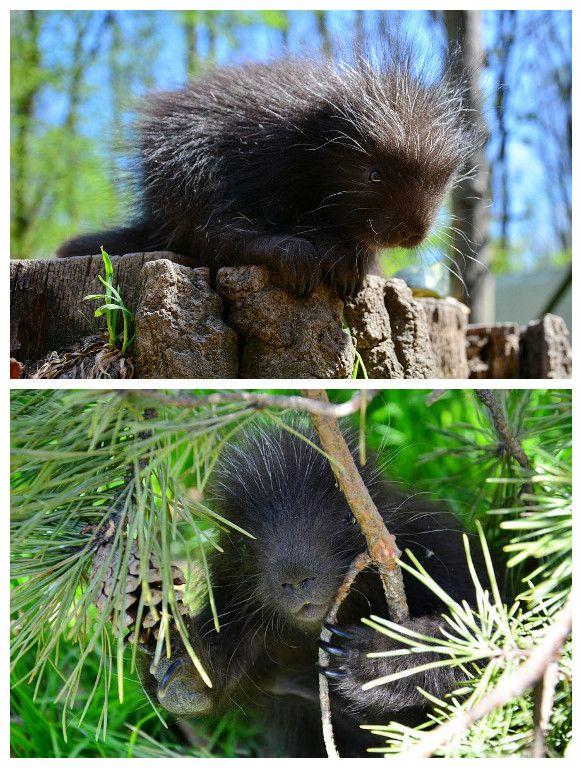 Kicsi kúszósül született a Miskolci Állatkert és Kultúrparkban: http://hellomiskolc.blog.hu/2017/04/12/cukisagbomba_husvetra_kissul_szuletett_a_miskolci_allatkertben  #MiskolcZOO #Miskolci_Állatkert #kúszósül #porcupine