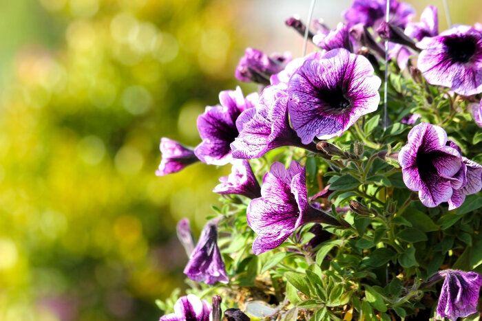 die Terrasse bepflanzen  nützliche Tipps und Ideen, lila Petunien, große Blüten