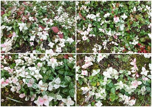 ハツユキカズラ  常緑多年草で季節によって葉の色が変化する Trachelospermum asiaticum  According to a season, it changes and can enjoy the color of a leaf always.   Trachelospermum asiaticum