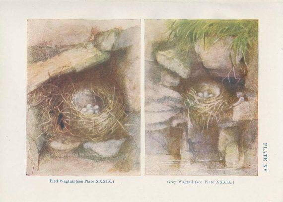1906 Antique Tiny Bird Nest Print 15 Egg by MarcadeVintagePrints