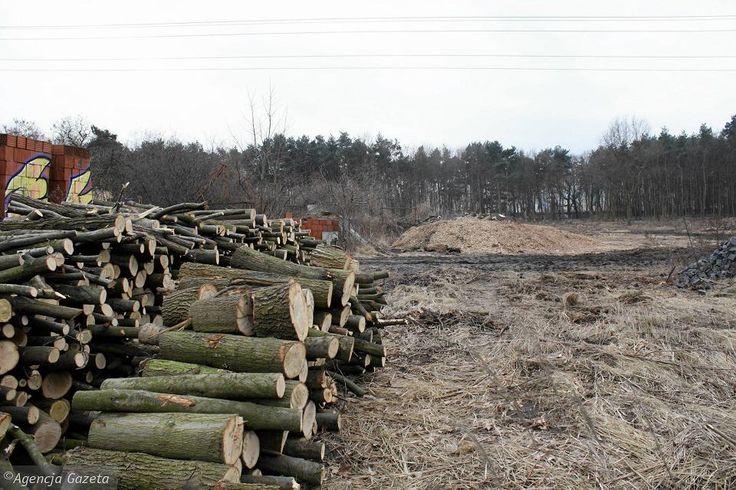 Wycinka drzew w Poznaniu. Drwale dawno nie widzieli takiego zainteresowania