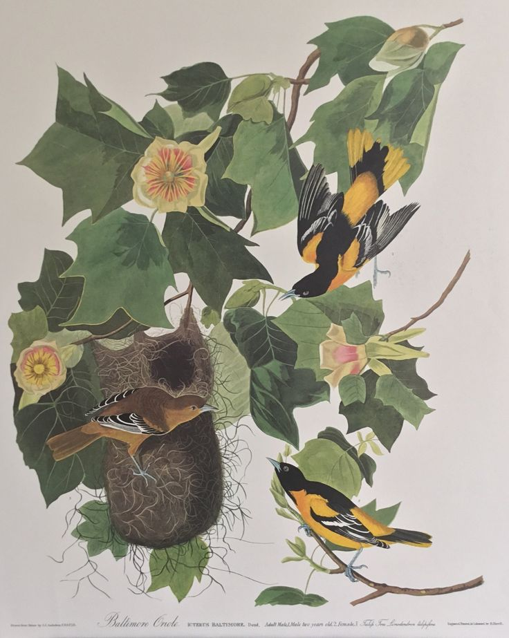 Special offer- Trimmed Baltimore Oriole for just $200