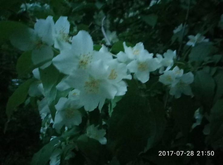 Summer snow. #nature #flowers #jasmine #bush #jasmin #flowerstagram #жасмин #цветыспб #цветы�� #сумерки #кусты #цветыжасмина #фотообои #цветение #цветочная http://misstagram.com/ipost/1569521020376015659/?code=BXIDw1nBWMr