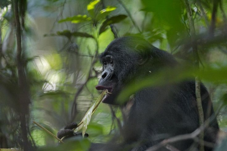 27 June 2011 Bonobos feed almost entirely on plant matter: lots of fruit, young leaves, and pith. Here an adult male enjoys some freshly sprouted leaves in Salonga National Park, in the Democratic Republic of Congo.