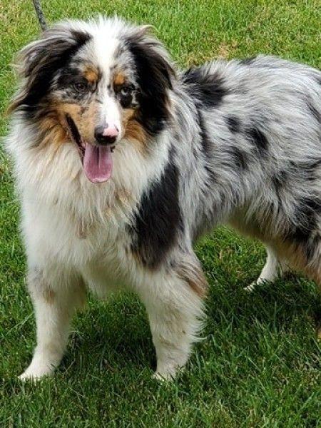 Australian Shepherd Rescue Dog for Adoption in Greenwood ...