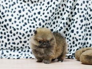 .Teacup Pomeranian