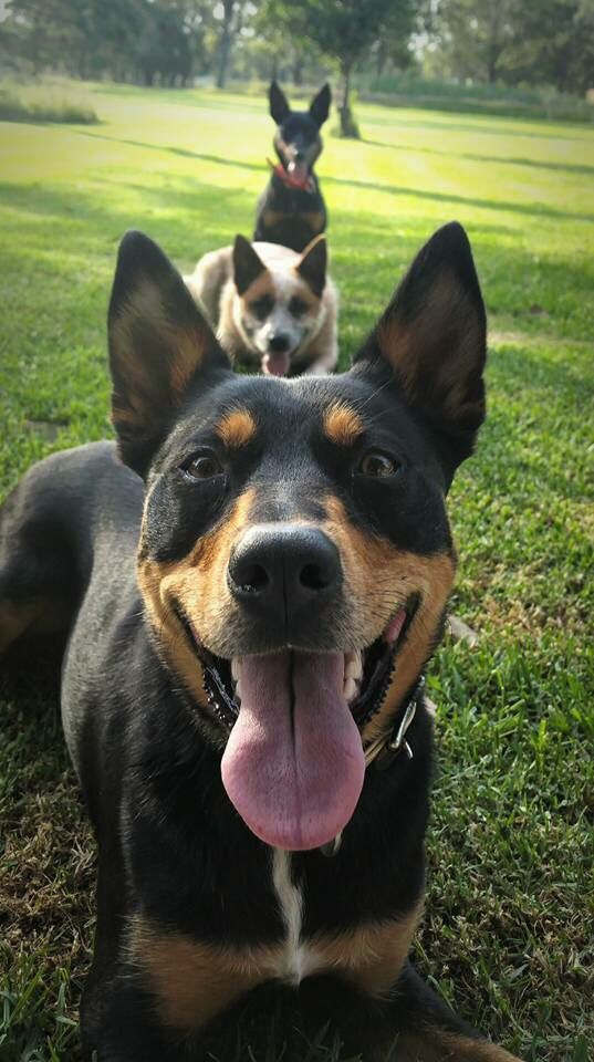 Kelpie dogs, my most favorite breed in the world!