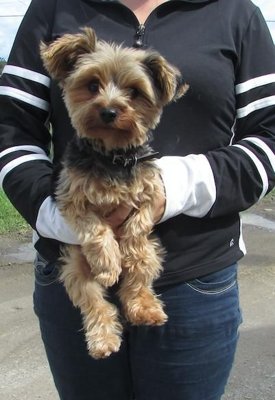Meet Peanut A Petfinder Adoptable Yorkshire Terrier Yorkie Dog
