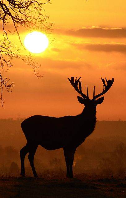 Deer at Sunrise. Woburn Deer Park, GB; by Rob Cain, via Flickr