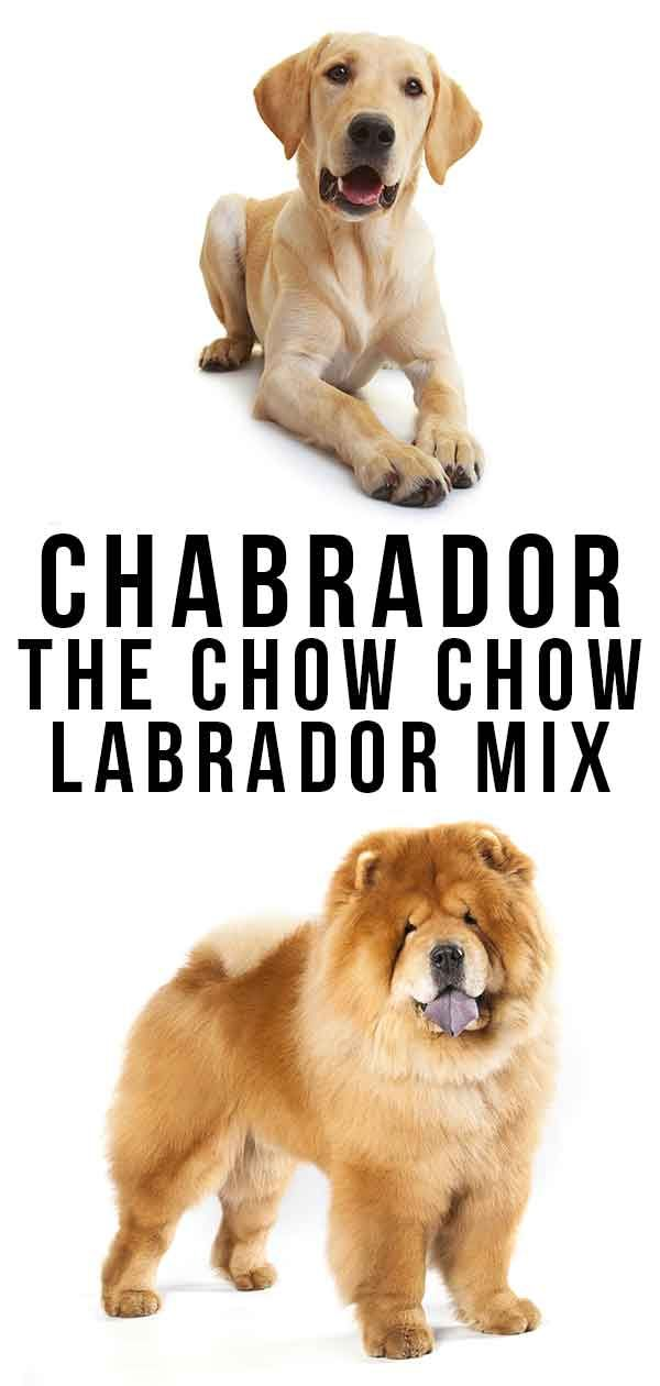 Chabrador Everything You Need To Know About The Chow Chow Lab