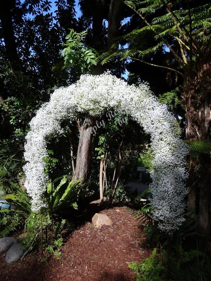 White Overtime Gypsophila - Babies Breath. Wedding ...