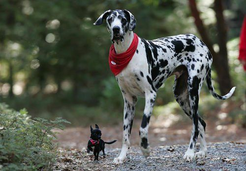 Gibson, a Harlequin Great Dane, is the tallest dog in the world. He reaches a staggering 7 feet above the ground and weights 170 pounds. Although giant, he is still pretty cute