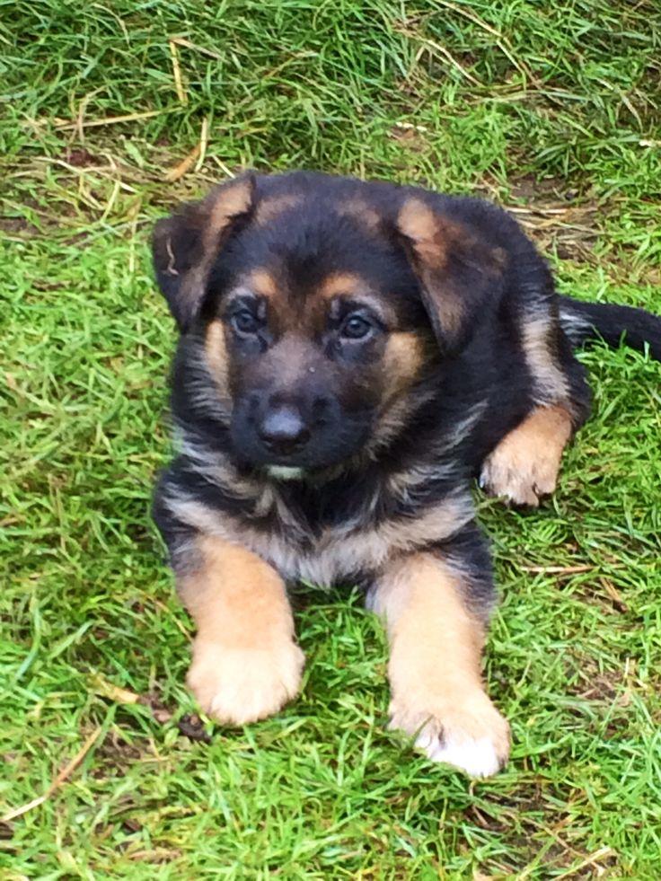 97 best les chiens bergers allemand images on Pinterest