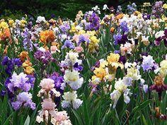 Цветы ирисы - посадка и уход, сорта, выращивание