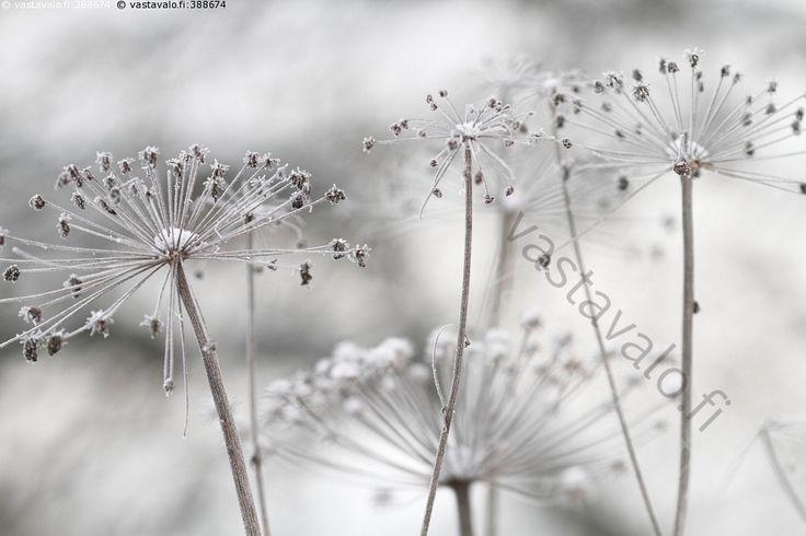 Talventörröttäjät - koiranputki talvi lumi luminen talventörröttäjä siemenet kuolleet kuivuneet kuivunut huurre huurteinen kasvi vaalea