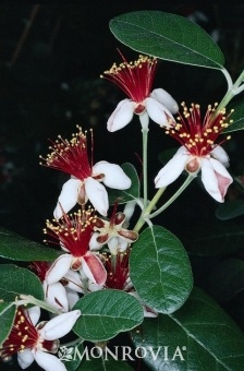 pineapple guava feijoa sellowiana a versatile landscape addition that also produces tropical fruit