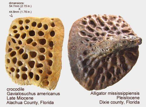 Crocodilian Osteoderms - BONES - Gallery - The Fossil Forum